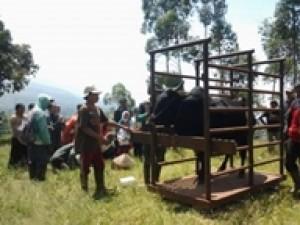 Penimbangan-sapi-yang-akan-dipanen-320x2401.jpg