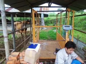 timbangan_hewan_ternak_di_xsago_loa_farm.jpg